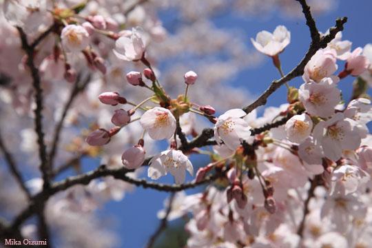 Sakura1134