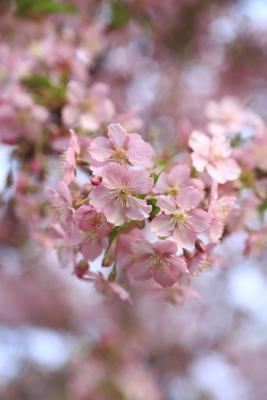 Sakura0002