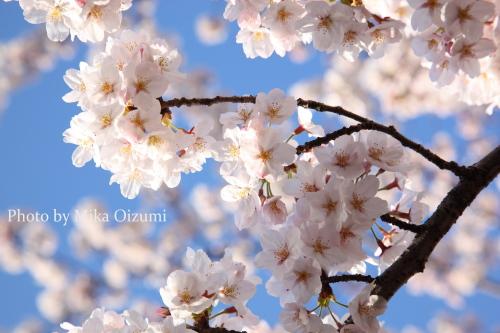 Sakura0001_2