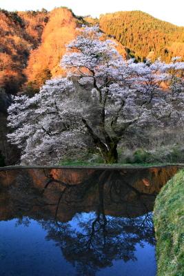 Sakura00016