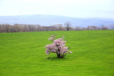 Sakura00017