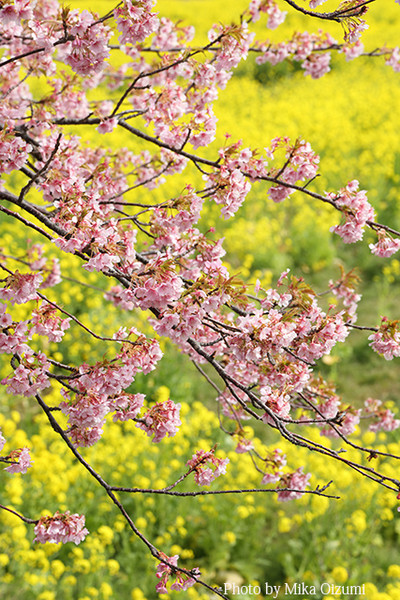 Sakura2y2a6544